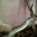 Boomslang female