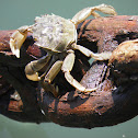 Cangrejo (Crab)