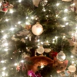 Merry Catsmas! by Jason Gaston - Animals - Cats Kittens ( lights, kitten, cat, tree, christmas,  )