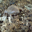 Two-spaded Narrow-mouthed Toad