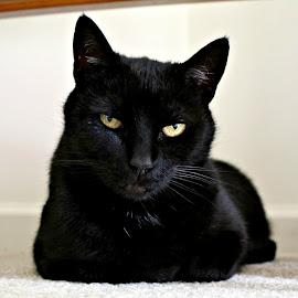 Cocoa by Hannah Humbert - Animals - Cats Portraits ( cats, portrait, black cat,  )