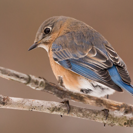 Female Bluebird by Tina Claypool - Animals Birds ( bluebird, nature, wildlife, birds, animal,  )