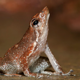 torrent frog by Girish Gowda - Animals Amphibians ( micrixalus, torrent frogs, dancing frog, girishgowda, micrixalus sp. )
