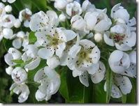 garden pear blossom2