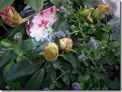 garden rhodie and ceanothis