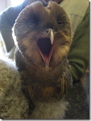 clyde valley baby sooty barn owl3