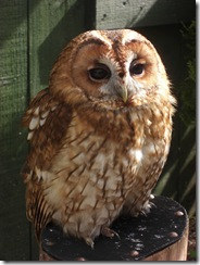 clyde valley tawny owl