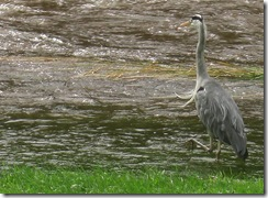 ks the heron