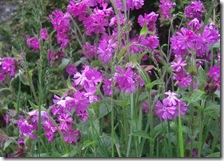 013 red campion