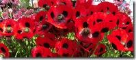 inglistonladybir poppies