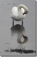 tarbert swan reflection