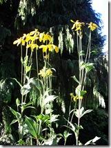 Dirleton gardens