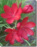 craigieburn red flower