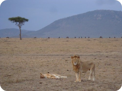 lions in the masai mara