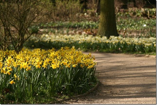 Daffodils hoggin path
