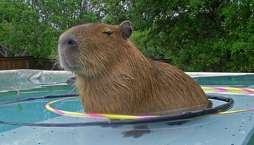 Capybara-pet7