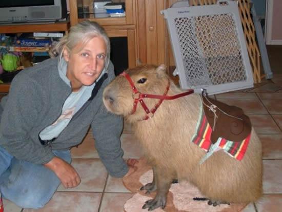 Capybara-pet