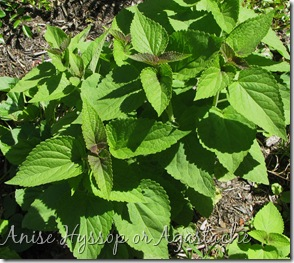 6 Anise Hyssop