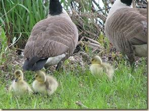 Geese babies 2