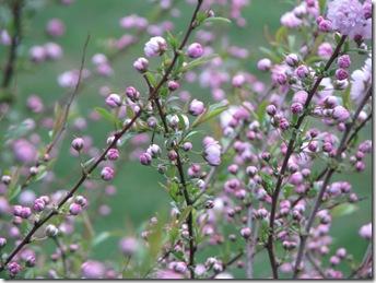 WK 3 Flowering ALmond