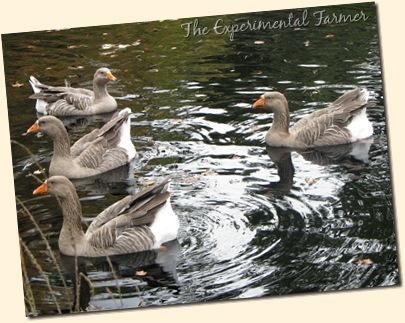 Goose gaggle 2