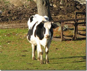 Wrentham cow
