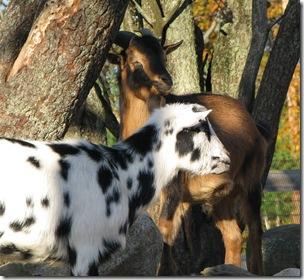 Wrentham goats
