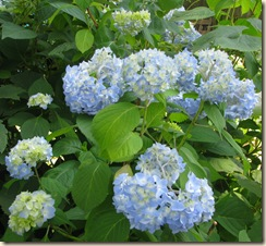 July 1 Hydrangeas