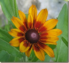 July 7 Blanket flower