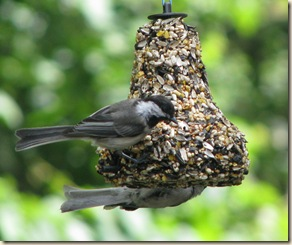 July 7 Chickadees 2