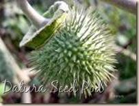 Datura - Seed Pod