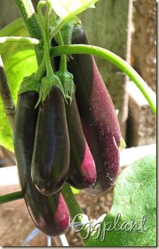 08 13 Eggplant