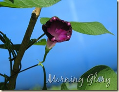 08 13 Morning Glory