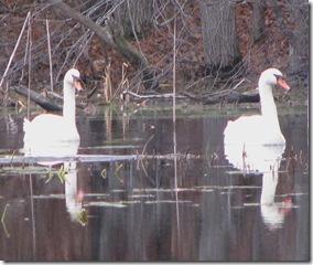 11 07 Swans 2