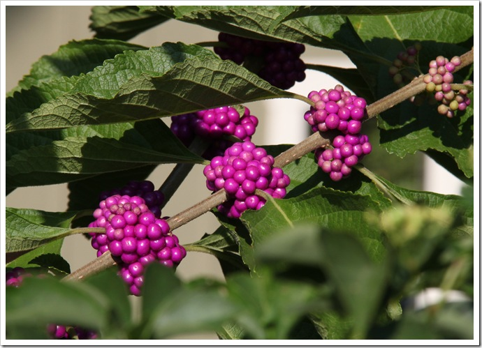 berries 015