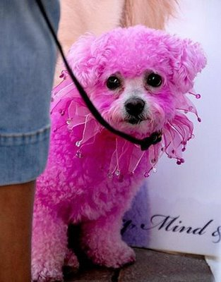 This pink poodle is a prime example of being tortured.  Don't poodles have enough problems already? Do they really need to be pink?