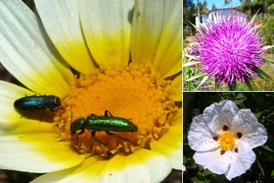 Ver flor guincho