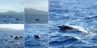 Ver golfinhos pintados