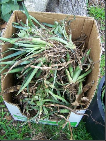 agave box