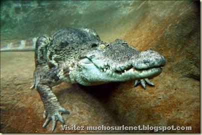 Monde animal-alligator
