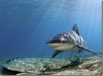 Monde animal-requin