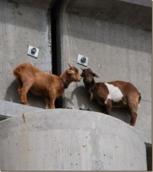 Chèvres sur un pont-2