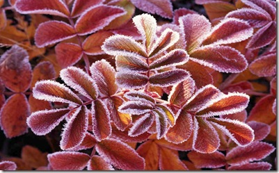 Dog rose leaves covered with frost in Sweden.