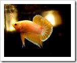 Betta-Fish-Picture-111