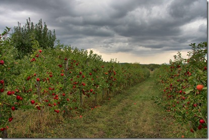 apple orchard_4127 (1024x683)