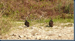Vultures waiting for the gator's leftovers?