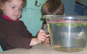 Observing tadpoles in the classroom.