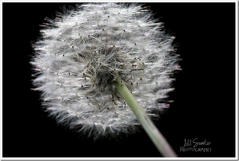 dandelions-3460