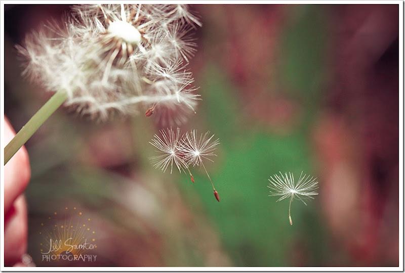 dandelions-3471