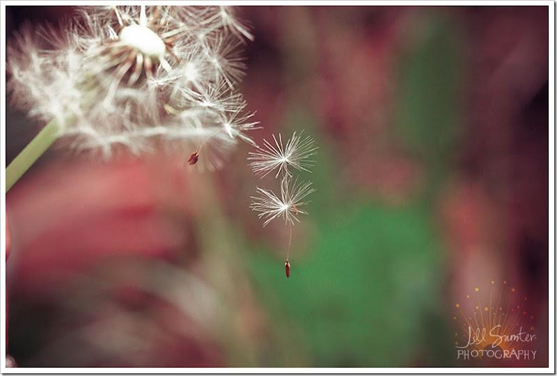 dandelions-3473